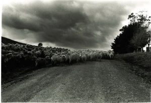 Sheep on the road B&W by Elaine Syron